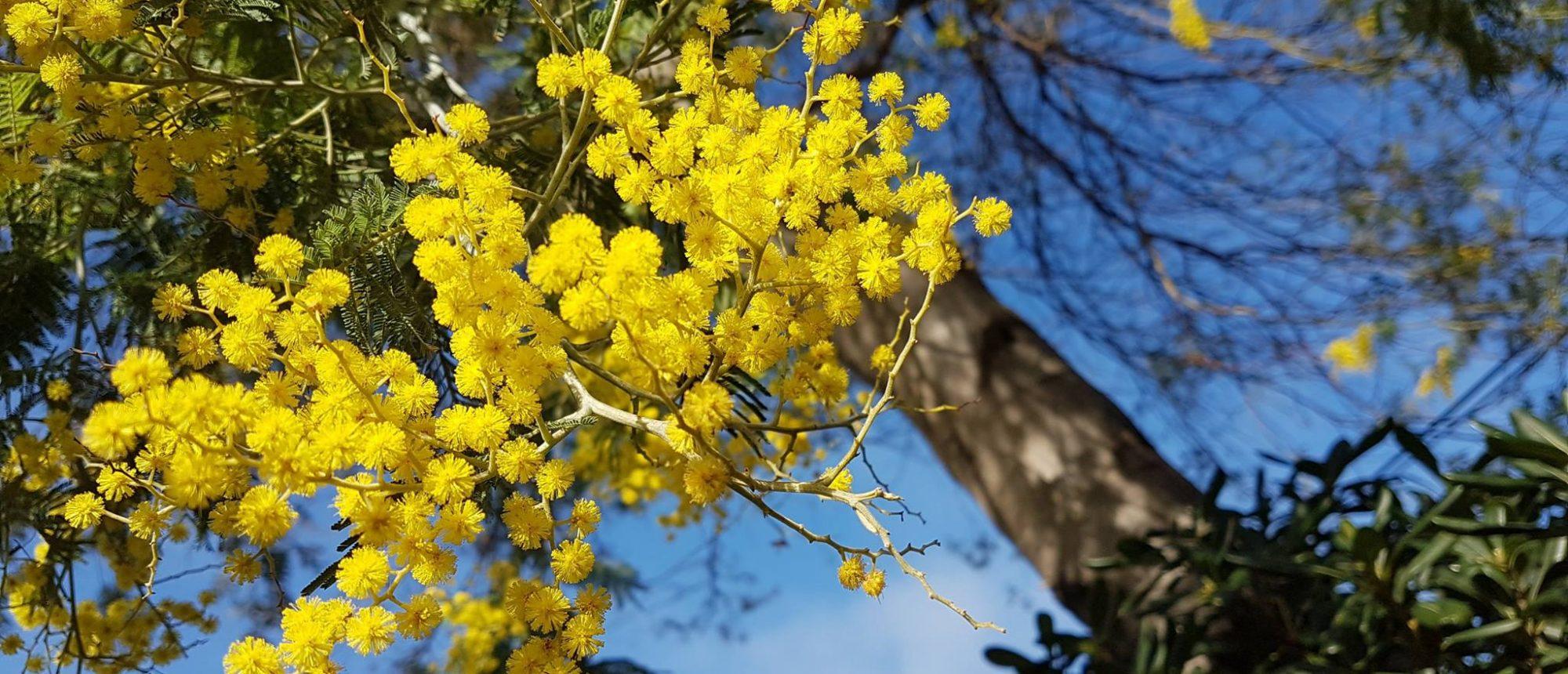 Clair De Lune : Mimosas Printemps Camping Clairdelune Vuemer Fleur